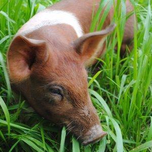 Pig Grazing
